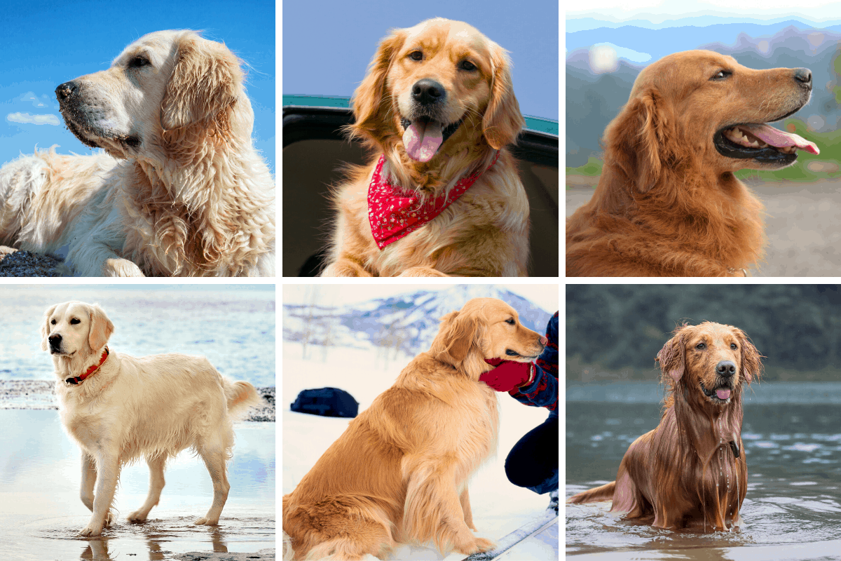 Types and Colors of Golden Retrievers