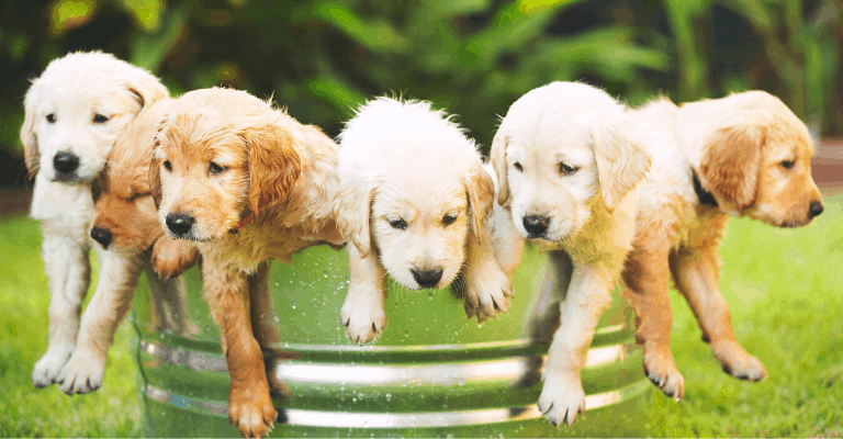Types and Color of Golden Retriever Puppies