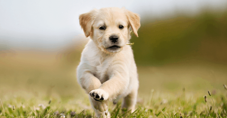 Avoid Puppy Sales Scams