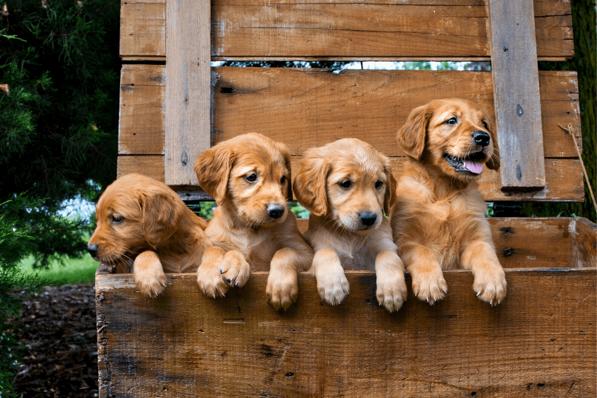 How Much Does a Golden Retriever Cost