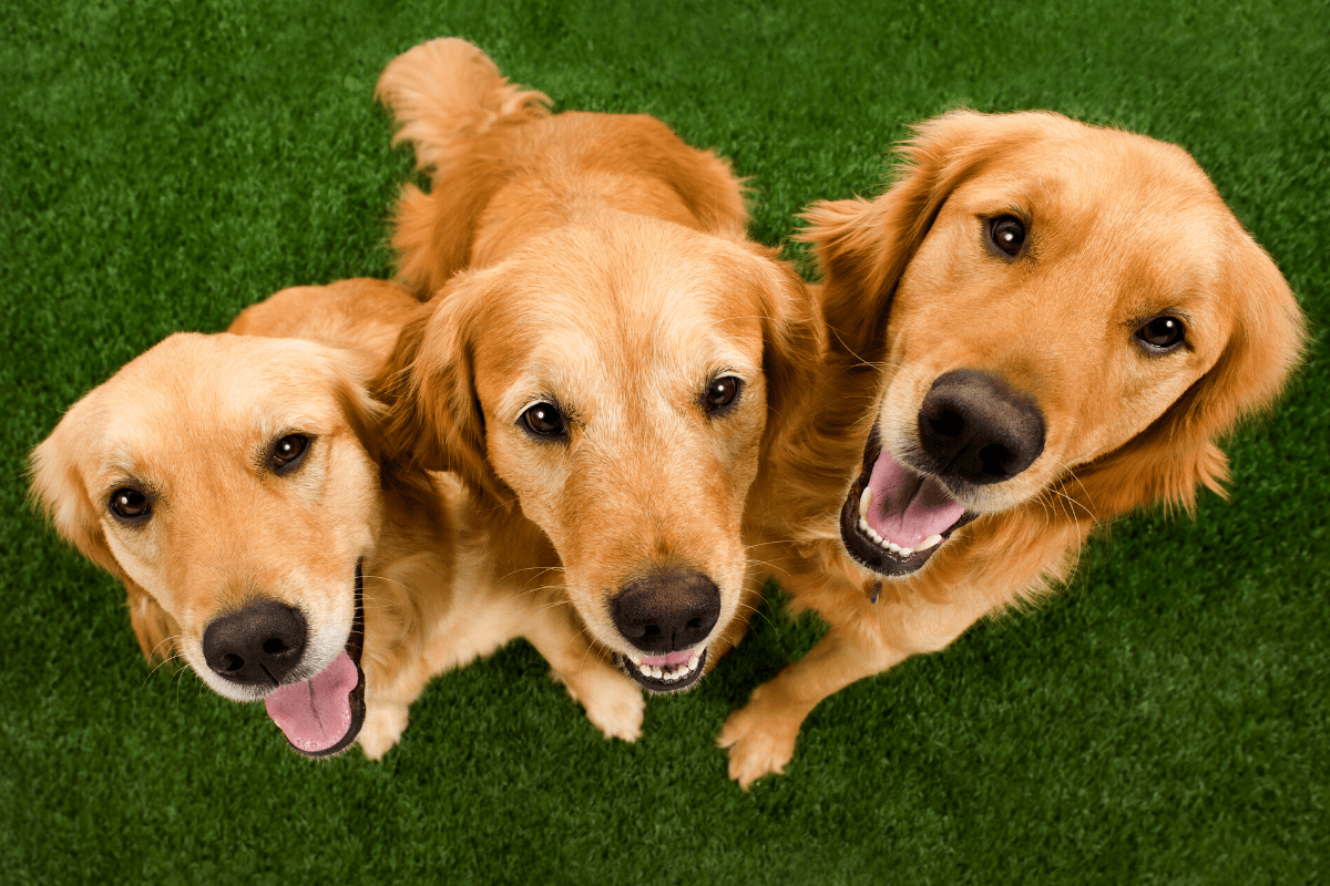 Spaying and Neutering Golden Retrievers