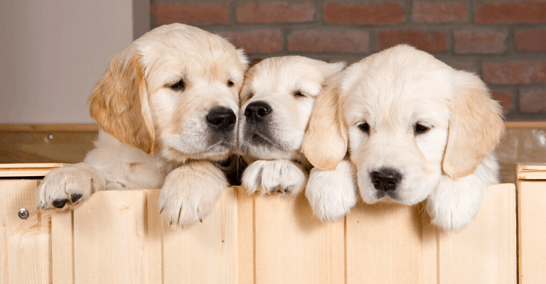 What to Look for in a Golden Retriever Breeder