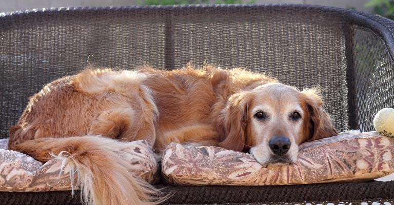 Does My Golden Retriever Need a Bed