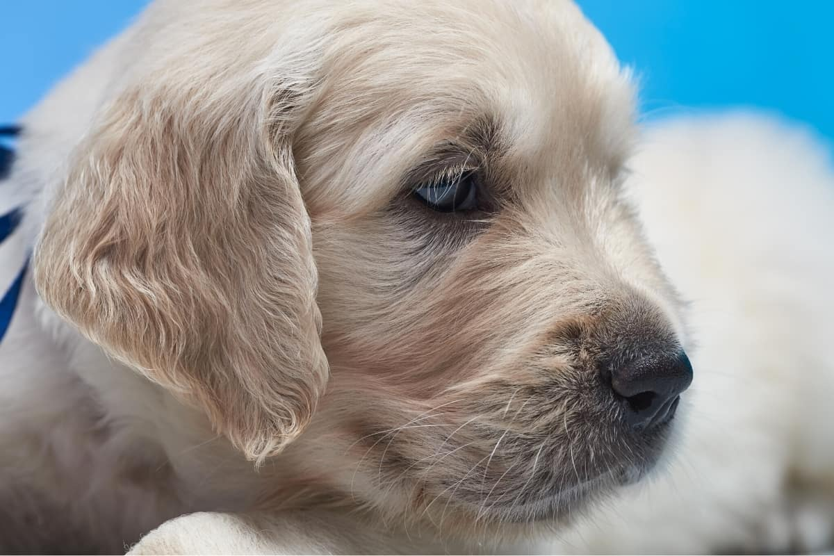 Golden Retriever Puppies With Blue Eyes