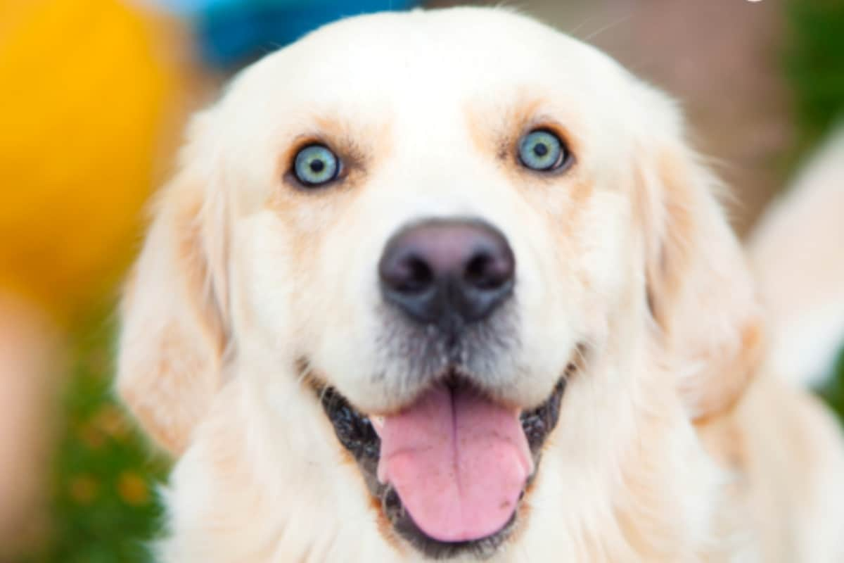 Golden Retrievers with Blue Eyes