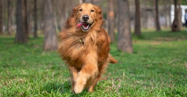 Why are Golden Retrievers Fast Runners