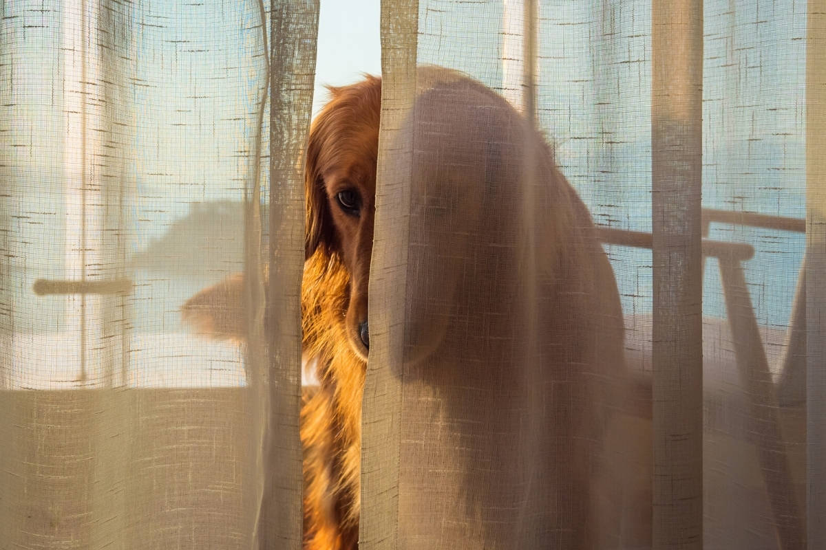 Help Golden Retriever With Anxiety