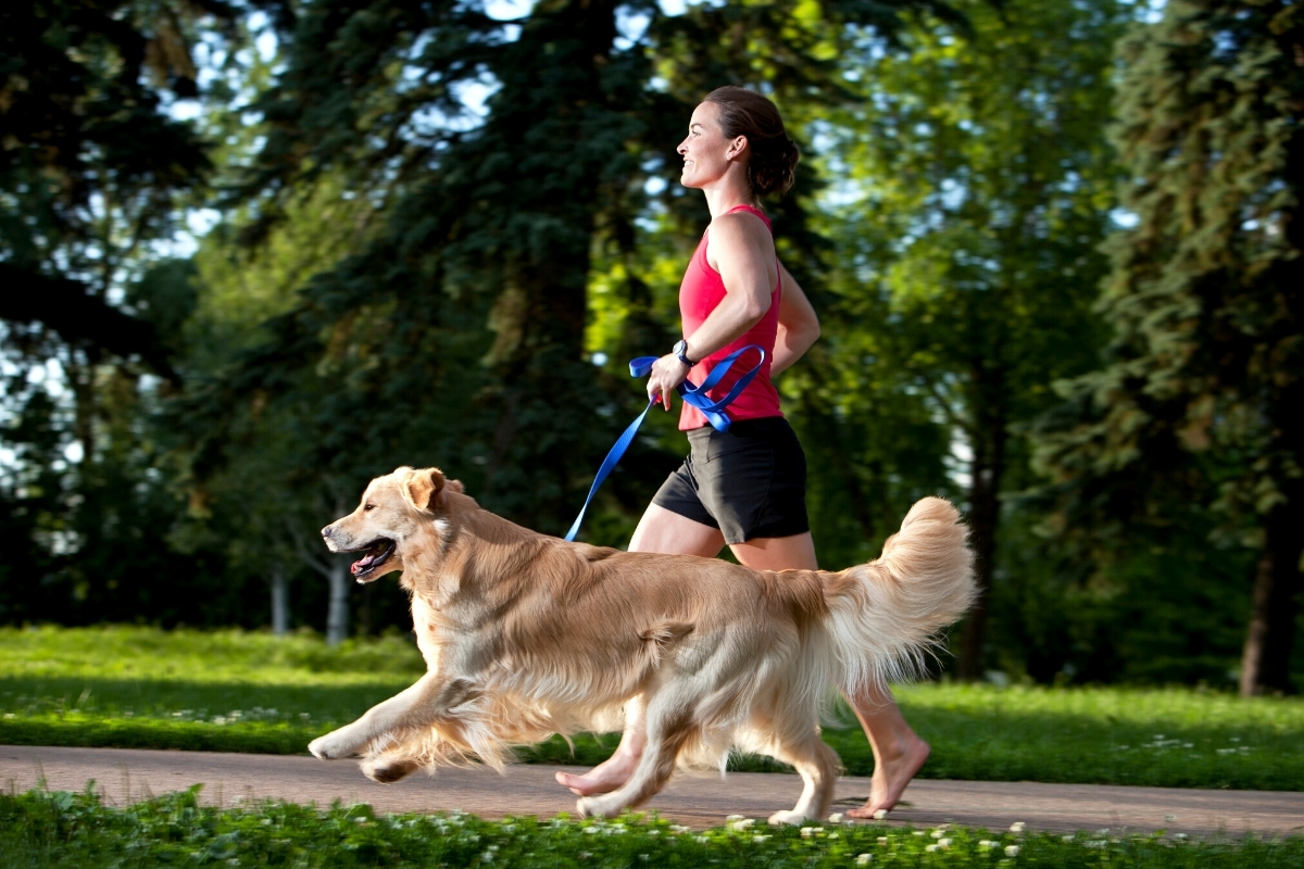 Training your Golden Retriever to Run with You